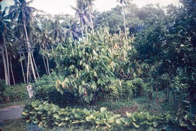 [A cocoa plant]