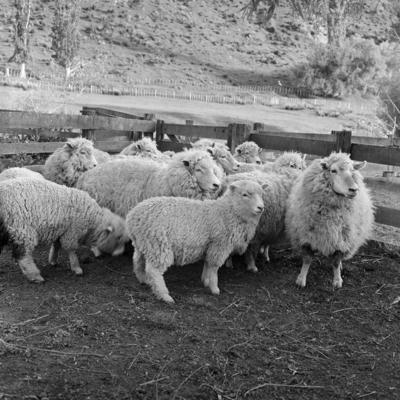 Easy-care Romney sheep, c 1966
