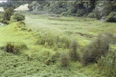 Photograph of swamp near Opua