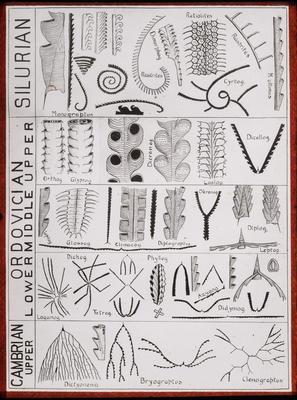 Graptolite evolution (Elles)