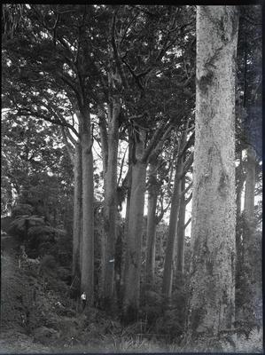 Clump Kauri Mata Bush 1937