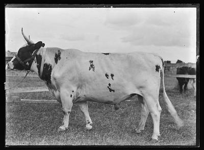 [Glass plate negative a steer in a field]