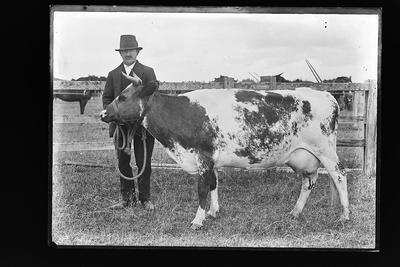 [Sepia glass plate negative cow with a man in a field]