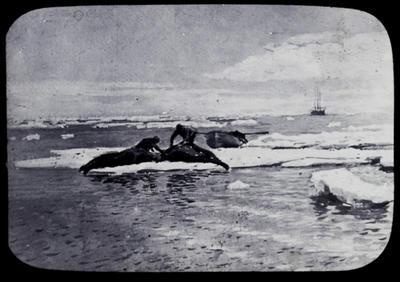 Flaying walruses. Photograph by Otio Sinding