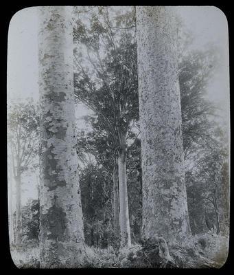 The sisters Kaiku Kauri Forest