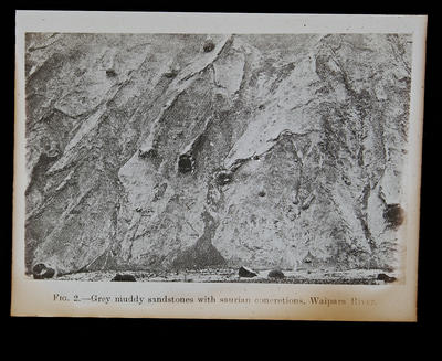 Fig. 2- Grey muddy sandstones with saurian concretions, Waipara River.